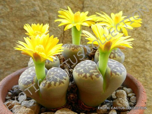 Kolokolo Store RARE LITHOPS DOROTHEAE, exotic living stone bonsaisucculent plant seed 50 SEEDS