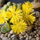 Kolokolo Store RARE LITHOPS BROMFIELDII INSULARIS living stones exotic rock plant seed 50 SEEDS