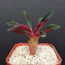 "Kolokolo Store EUPHORBIA PACHYPODIOIDES rare exotic madagascar succulent cactus cacti 2"" plant"
