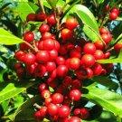 Kolokolo Store RARE DAHOON HOLLY ilex cassine Florida native tree bonsai shrub seed 50 seeds