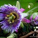 Kolokolo Store PASSIFLORA LIGULARIS sweet granadilla grenadilla passionfruit flowering 10 seeds