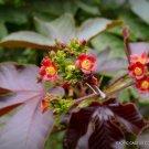 Kolokolo Store RARE JATROPHA GOSSYPIFOLIA @J@ succulents carnivorous plant seed 200 SEEDS