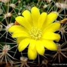 Kolokolo Store RARE WEINGARTIA LANATA flowering exotic cactus seed cacti succulent 15 SEEDS
