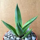 "Kolokolo Store AGAVE DESMETTIANA variegated marginata rare variegata cactus plant aloe 4"""