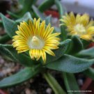 Kolokolo Store RARE NANANTHUS ALOIDES @ living stone cacti mesembs rock plant ice seed 15 SEEDS