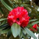 Kolokolo Store EXOTIC RHODODENDRON ARBOREUM exotic Medicinal herb tree flowering seed 10 SEEDS