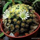Kolokolo Store RARE MAMMILLARIA SHIEDEANA @j@ exotic cacti pincushion cactus seed 15 SEEDS