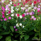 Kolokolo Store NICOTIANA ALATA mixed color flowering garden plant exotic seed 20 seeds