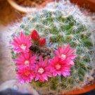 Kolokolo Store RARE MAMMILLARIA BOCASANA ROSEIFLORA @j@ exotic flowering cacti cactus 20 SEEDS