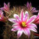 Kolokolo Store RARE MAMMILLARIA BLOSSFELDIANA @J@ exotic flowering cacti cactus seed 20 SEEDS