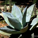 Kolokolo Store RARE AGAVE GUIENGOLA @ Creme Brulee exotic succulent aloe plant seed 100 SEEDS
