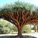 Kolokolo Store Dragon's Blood Tree, Dracaena draco rare Canary Island palm bonsai seed 20 SEEDS