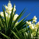 Kolokolo Store CABBAGE TREE cordyline australis @j@ exotic rare palm trees plant seed 10 seeds