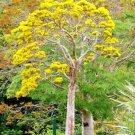 Kolokolo Store DELONIX FLORIBUNDA @j@ Flamboyant poinciana tree VERY RARE bonsai seed 20 SEEDS