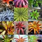Kolokolo Store COLOR DYCKIA MIX exotic succulent hetchia agave xeriscaping aloe seed 100 SEEDS