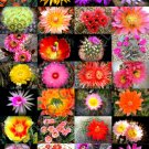 Kolokolo Store COLOR CACTUS MIX @j@ exotic cacti flowering desert succulent plant seed 50 seeds