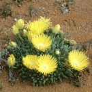 Kolokolo Store Cheiridopsis Namaquensis rare mesembs living stones exotic cactus seed 100 SEEDS