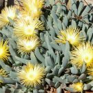 Kolokolo Store Cheiridopsis Denticulata, exotic succulent mesembs living stones seed 100 SEEDS