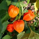 Kolokolo Store Cape Gooseberry GOLDENBERRY physalis peruviana peruvian groundcherry 50 SEEDS
