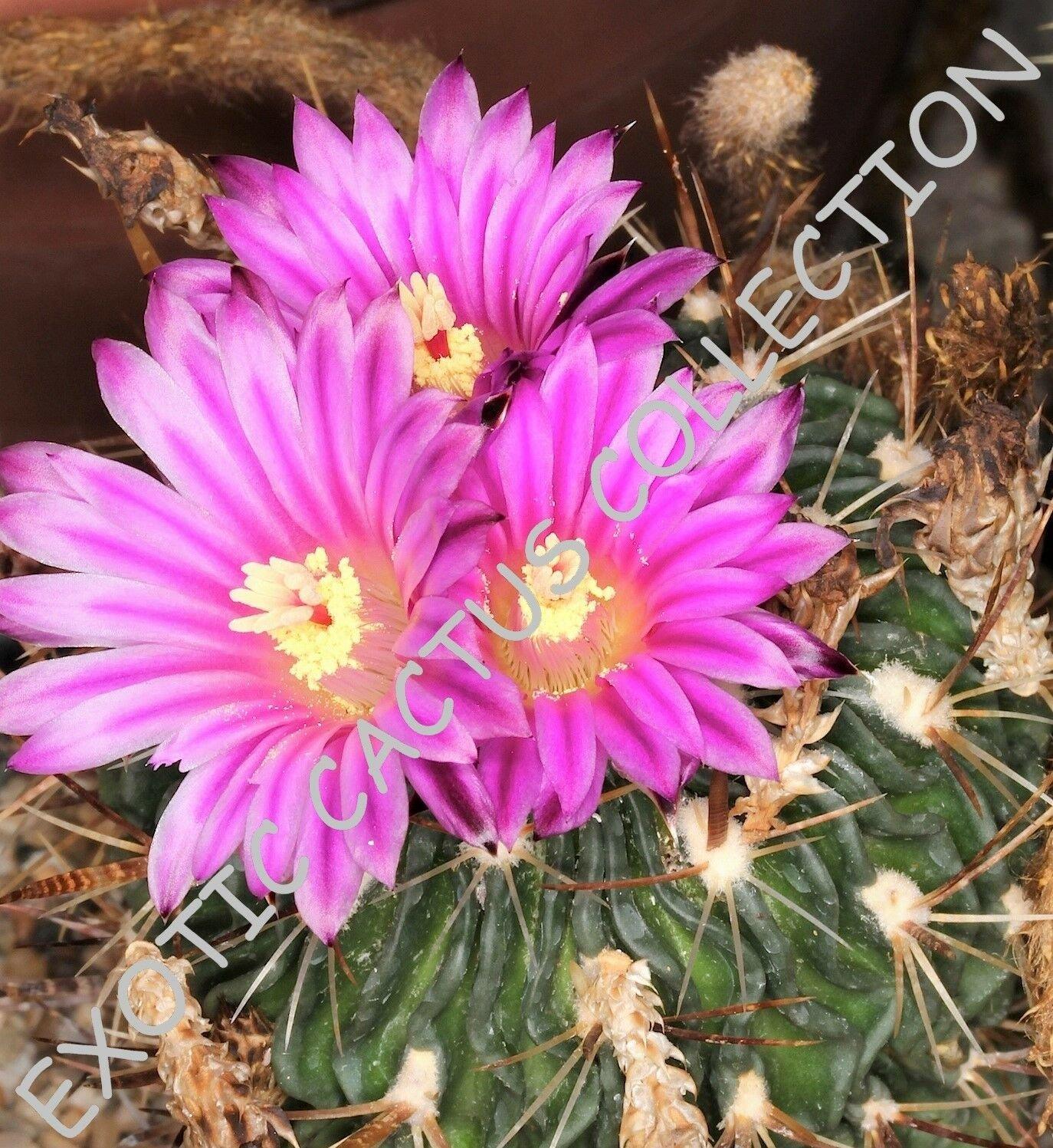 Kolokolo Store RARE STENOCACTUS MULTICOSTATUM @J@ exotic cactus cacti succulent seed 10 SEEDS