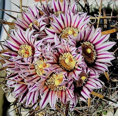 Kolokolo Store RARE STENOCACTUS ERECTOCENTRUS echinofosulocactus cactus exotic cacti 10 SEEDS