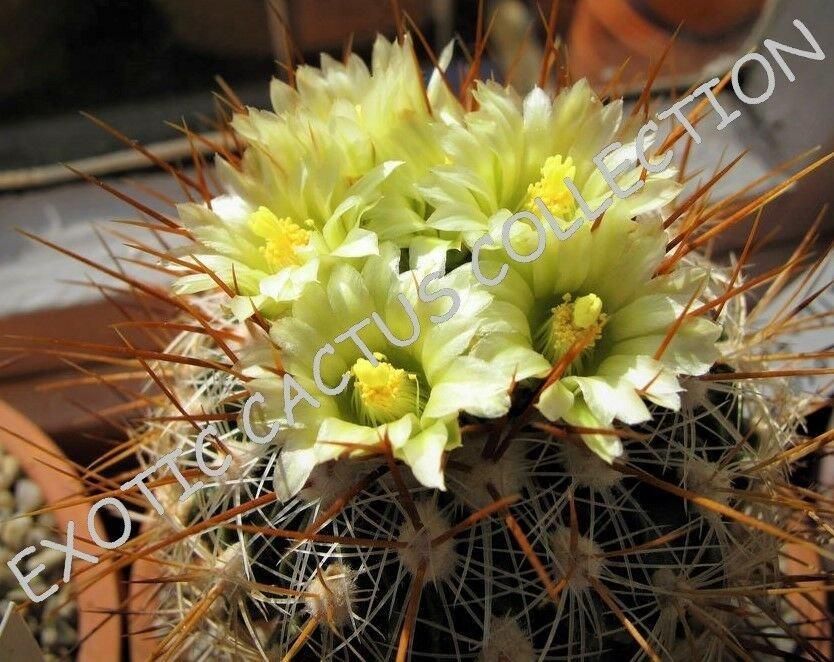 Kolokolo Store RARE STENOCACTUS ALBATUS @ exotic cacti suculent cactus rare plant seed 10 SEEDS
