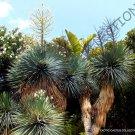Kolokolo Store RARE YUCCA RIGIDA @ blue yuca exotic agave garden desert tree like seed 15 SEEDS