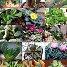 Kolokolo Store RARE ALOINOPSIS MIX exotic flowering succulent mesemb living stone seed 20 SEEDS