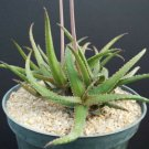 Kolokolo Store RARE ALOE BAKERI @@ cactus hybrid exotic color succulent flowering seed 10 SEEDS