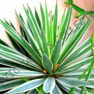 Kolokolo Store RARE AGAVE ANGUSTIFOLIA VARIEGATED @ exotic succulent cactus seed plant 15 SEEDS