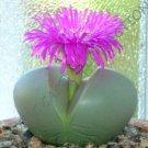 Kolokolo Store RARE ARGYRODERMA TESTICULARE @j@ mesemb mesembs rock living stones seed 20 SEEDS