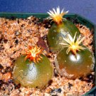 Kolokolo Store RARE CONOPHYTUM HAMMERI exotic cone cactus living stones mesemb seed  15 SEEDS