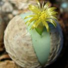 Kolokolo Store RARE CONOPHYTUM CALCULUS exotic cactus living stones mesemb cacti seed 15 SEEDS