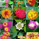 Kolokolo Store FLOWERING LANTANA MIX @j@ Shrub Verbenas Butterfly Garden Ham And Eggs 20 seeds
