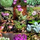 Kolokolo Store RARE ANTIMIMA MIX exotic flowering succulent cactus living stone desert 15 SEEDS