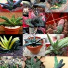 Kolokolo Store COLOR GASTERIA MIX @j@ rare living stones exotic cactus succulents seed 10 seeds