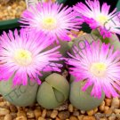 Kolokolo Store RARE GIBBAEUM HEATHII, living stones exotic rock ice plant mesembs seed 20 SEEDS
