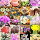 Kolokolo Store COLOR CONOPHYTUM MIX, succulent cactus mixed living stones rocks seed 15 SEEDS