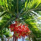 Kolokolo Store ADONIDIA MERRILLII @j@ christmas palm exotic rare palms semi plant seed 5 seeds