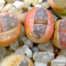 Kolokolo Store RARE LITHOPS MAMORATA SB 153 @ exotic living stone succulent cacti seed 15 SEEDS
