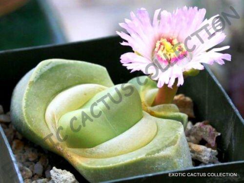 Kolokolo Store RARE DIDYMAOTUS LAPIDIFORMIS @ exotic mesemb living stones cacti seed  15 SEEDS