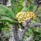 Kolokolo Store EUPHORBIA DIDIEROIDES @j@ exotic rare succulent cactus cacti plant seed 5 SEEDS
