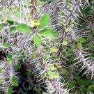 Kolokolo Store EUPHORBIA CROIZATII @j@ exotic rare succulent cactus cacti plant seed 5 SEEDS