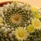 Kolokolo Store MAMMILLARIA MARKSIANA exotic cacti rare cactus seed plant 20 SEEDS