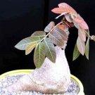 Kolokolo Store Phyllanthus Mirabilis, Caudiciform Phyllanthodendron caudex bonsai seed 5 SEEDS