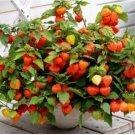 Kolokolo Store GOLDENBERRY, physalis peruviana Cape Gooseberry peruvian groundcherry 25 SEEDS