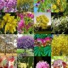 Kolokolo Store ACACIA TREES MIX rare flower wattles desert Vachellia bonsai tree SEED 15 seeds