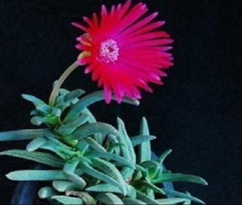 Kolokolo Store Cephalophyllum cupreum, rare mesembs exotic living stones rock seed 20 SEEDS