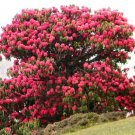 Kolokolo Store Rhododendron Arboreum, Medicinal herb Guinness record tree flower seed 10 SEEDS