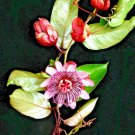 Kolokolo Store PASSIFLORA AMBIGUA, RARE Passion Flower fruit COLLECTOR exotic seed 10 SEEDS